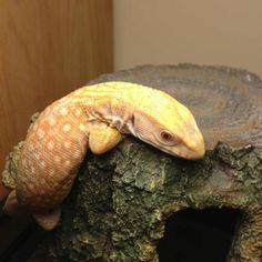 Albino savannah monitor!! Sooooooo cute!!!!!