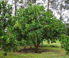 Tahitian Lime Tree Gardens great and small can benefit from trees: for providing shade, a habitat to native birds and their positive contribution to the environment. Here are 5 fast growing shade trees in Australia and how to grow them. Backyard Trees, Backyard Shade, Garden Trees, Shade Garden, Trees To Plant, Bush Garden, Best Shade Trees, Fast Growing Shade Trees, Little Gardens
