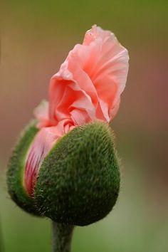 Oriental Poppy opening