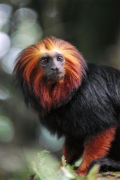 Tamarin monkey (Saguinas sp), portrait, Amazon rainforest, Brazil