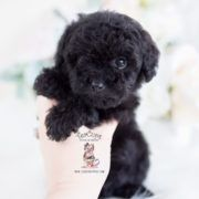 Black Toy Poodle Puppy Poodle Puppy Black Toy Poodle Black