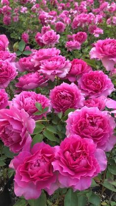Rose Flower Pictures, Beautiful Flowers Photos, Beautiful Flowers Wallpapers, Flower Images, Amazing Flowers, Beautiful Roses, Pretty Flowers, Rose Flower Wallpaper, Wallpaper Nature Flowers