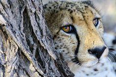 Op zoek naar een origineel kerstcadeau? Wat dacht je van het adopteren van een cheetah? http://www.stichtingspots.nl/index.php?page=309 (Foto: David Yack)