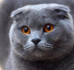 Scottish Fold Com sua aparência doce e orelhas que chamam atenção pelas dobras, o Scottish Fold tem olhos grandes de cores variadas, cabeça e corpo arredondados. Robusto, o macho adulto atinge até 5 kg e as fêmeas 4 kg. Ele surgiu na Escócia, quando uma gata de orelhas dobradas teve dois filhotes de orelhas dobradas, e um fazendeiro comprou estes filhotes e recebeu a ajuda de um geneticista para reproduzir a raça. http://climatologiageografica.com/