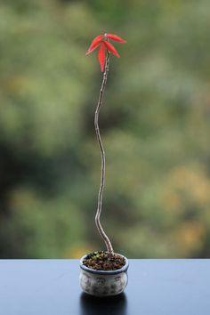 On The Net Landscape Design And Style - The New On-line Tool That Designers Are Flocking To For Landscape Designs Goby Foliage Tokuzo Bowl Bonsai Art, Bonsai Plants, Garden Terrarium, Bonsai Garden, Red Maple Bonsai, Terraria Tips, Succulent Bonsai, Mame Bonsai, Bonsai Styles