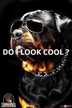 Rottweiler: Do I Look Cool?