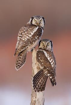 Northern Hawk Owls; this is a real cool owl with a great story.