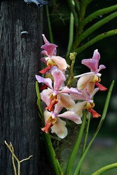 Vanda orchids | Flickr - Photo Sharing!