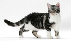 American Wirehair:  The American Wirehair is a medium-size cat with regular features and a sweet expression. This cat's wiry coat, right down to the whiskers, is thick, hard and springy. It has been described as resembling steel wool. His unusual coat comes in almost any color or pattern.   www.vetstreet.com