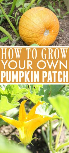 How to Grow Pumpkins | The Creek Line House Grow Your Own, Pumpkin, Diy Projects, Fruit, Pumpkins, The Fruit, Butternut Squash, Handmade Crafts, Squash