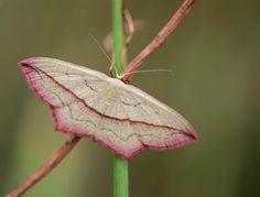 """Hoe zou zo'n  Nachtvlinder nu aan de naam """"Lieveling""""  komen?. Misschien dat rose randje.  Ik kom hem altijd overdag tegen, deze nachtvlinder."""