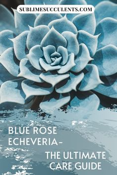 The Blue Rose Echeveria is a Mexican succulent evergreen that displays rosette shaped leaves. It is popular as a decoration due to its beauty. Sublime Succulents will guide you through everything this plant needs to remain healthy and thriving for a very long time. Between sunlight, the right soil conditions, watering schedule you will be able to propagate more of this beauty. Download our guide and get started now… #blueroseecheveriaguide #blueroseecheveriafacts #echeveriaimbricataguide Blue Succulents, Succulents Garden, Echeveria Imbricata, Succulent Species, Succulent Care, Plant Needs, Amazing Gardens, Cactus Plants, Evergreen
