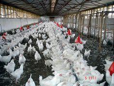 piliç çiftliği kurmak
