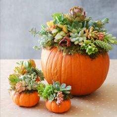 Pumpkin Succulent Decoration . . . . No need to cut into the pumpkin with this beautiful... yet simple, succulent arrangement! An easy tutorial with link to follow!