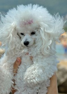 Poodle ~ cute as heck. Poodle Grooming, Dog Grooming, Beautiful Dogs, Animals Beautiful, Poodle Cuts, French Poodles, Pet Dogs, Doggies, Pet Pet