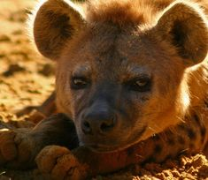awesome spotted hyena extreme close-up - love the dusty, up-turned toes! Dog Facts, Animal Facts, Animal Quotes, Hyena Tattoo, Animal Close Up, Funny Animals, Cute Animals, African Wild Dog, Savages