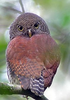 Sri Lankan Endemic Birds: Pitathabala Vana-Bassa - The Chestnut-Backed Owlet (Glaucidium castanonotum)