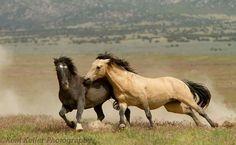 Gunsmoke (right), Great Basin Desert wild stallion. Photo by Kent Keller