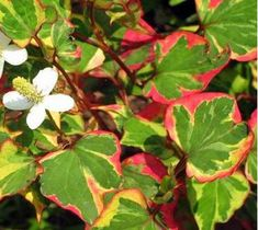 Houttuynia Chameleon Plants,Houttuynia cordata variegata plants are hardy shallow water plants. Chameleon pond plants for sale now at Water Plants For Ponds