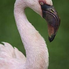 Marco Fischer - Flamingo