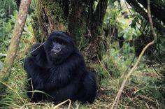 Ruanda Reisen - Rundreisen - Safaris in Ruanda - Gorilla Trekking