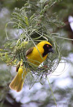 Southern Masked Weaver (Ploceus velatus) - male weaving a nest
