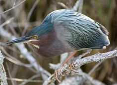 Learn how to identify Green Heron, its life history, cool facts, sounds and calls, and watch videos. From a distance, the Green Heron is a dark, stocky bird hunched on slender yellow legs at the water's edge, often hidden behind a tangle of leaves. Seen up close, it is a striking bird with a velvet-green back, rich chestnut body, and a dark cap often raised into a short crest. These small herons crouch patiently to surprise fish with a snatch of their daggerlike bill. They sometimes lure in…