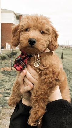 31 Cute Goldendoodle Puppies That Will Take Your Breath AwayDog Breeds Goldendoodle Miniature, Mini Goldendoodle Puppies, Mini Puppies, Aussie Puppies, Cute Puppies, Cute Dogs, Miniature Puppies, Puppies Puppies, Goldendoodles