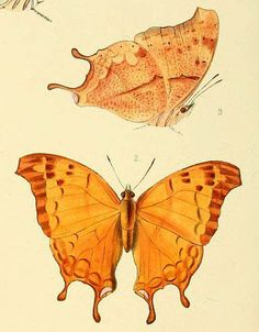 Nymphalis I William Chapman Hewitson Illustrations of new species of exotic butterflies, 1854