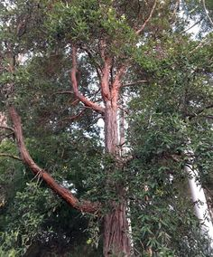 Syncarpia glomulifera - Turpentine Tree - elbows in the branches Tree Canopy, Native Plants, Brown And Grey, Evergreen, Wild Flowers, Branches, Trees, Garden, Image