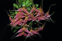 Orchids in Bloom: masdevallia