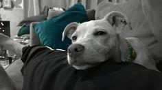 Friday night lounging #relaxing #hangingout #mutts #rest #italiangreyhound #Iggy #italiangreyhoundmix #jackrussellterrier #terriermix #adoptadog #rescuedog #petadoption #adoptdontshop #rescuenation #rescuedogsofinstagram #muttskickbutt #worldofcutepets #allcutepets #dogsandpals #Petsofinstagram #sendadogphoto  #mypetiscutest  #dogsofinstaworld #muttsofinstagram #muttnation #happy #lumia #lumia950xl by the_shoe_hunter
