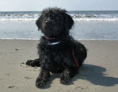 Image from http://animal-world.com/dogs/Mixed-Dog-Breeds/images/LabradoodleWDTo_AcFpD127.jpg.