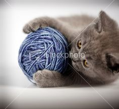 Cute British shorthair kitten Royalty Free Stock Photo