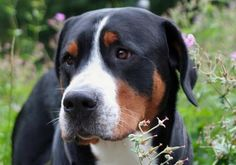 Louie the Greater Swiss Mountain Dog