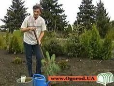 Ogorod.UA - Посадка и уход за хвойными растениями - YouTube