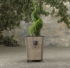 Spiral Live Boxwood Topiary