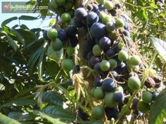 Davidsonia pruriens / ameixa-da-austrália