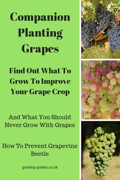 Companion Gardening COMPANION PLANTING GRAPES - The ancient Greeks and Romans were companion planting grapes with other plants to improve the quality of their crops and this is how you can too. Home Vegetable Garden, Tomato Garden, Fruit Garden, Growing Tomatoes In Containers, Growing Grapes, Grape Vine Trellis, Grape Vines, Planting Vegetables, Growing Vegetables