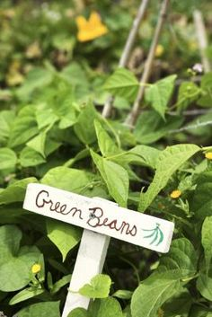 Proper spacing of bean plants is important for maximum bean yields and ease of care and picking. Bush beans form mounds almost as wide as they are tall, with beans produced within the canopy of the ...