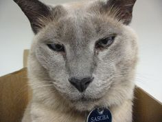 Tonkinese Cat - Smartest Cat Breed