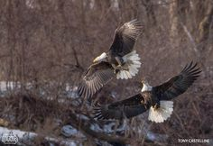 Eagles fighting over a fish by Tony Castelline | Iowa DNR