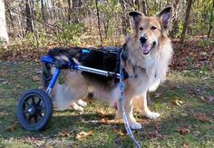 A Collie with degenerative myelopathy (DM) adapted quickly to a Walkin' Wheels dog wheelchair. He is going for several walks each day and is still happy. Interesting Photos, Cool Photos, Different Types Of Dogs, Dog Wheelchair, Wheelchairs, Russell Terrier, Collie, Picture Video, Cute Dogs