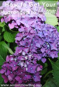 Serenity Now: How to Get a Hydrangea Plant to Bloom! I'm so glad I found this and so hope it works! Fingers crossed!