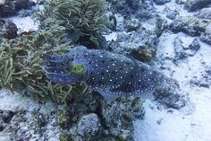 Broadclub Cuttlefish (Kobushime) in Okinawa_ Japan
