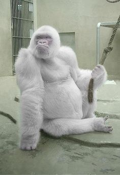 Beautiful Amazing World  Albino Gorilla
