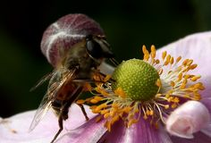 Be working hard collecting pollen, I like this image, he is oblivious to me and the camera.