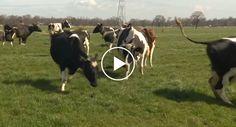 Vacas Saltam De Alegria Por Verem Erva Pela Primeira Vez Após Estarem 6 Meses Fechadas http://www.funco.biz/vacas-saltam-alegria-verem-erva-pela-primeira-vez-apos-estarem-6-meses-fechadas/