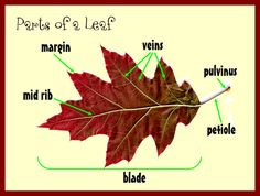 Why do leaves change color in the fall? This lesson explains the earth's relationship with the sun, loss of chlorophyll in the leaves and the parts of a leaf. Go on a virtual leaf hunt to observe the similarities and differences of leaves in the fall.