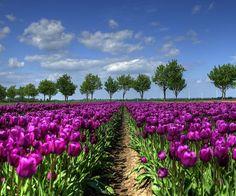 Purple Tulip Field | Purple Tulip Field In Holland Purple Tulips, Tulips Flowers, Wallpaper Paisajes, How To Do Facial, Field Wallpaper, Iphone Wallpaper, Singapore Garden, Tulip Fields, Felder